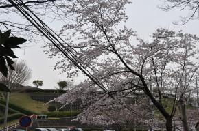 kamakurayamasakura22