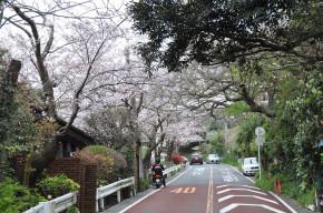 kamakurayamasakura33